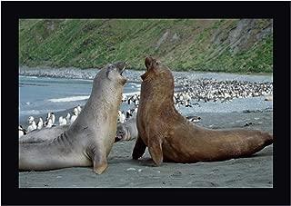 Southern Elephant Seal Bulls Fighting, Macquarie Island by Konrad Wothe 23