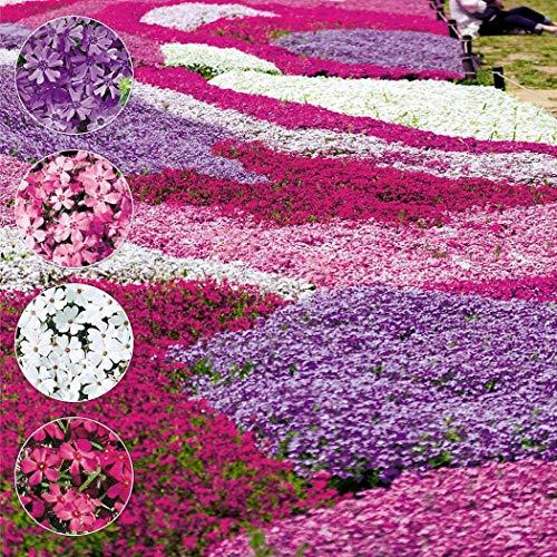 ADOLENB Garten Samen - Thymian Samen Thymus Serpyllum Kräuter Bodendecker Blume frisch Bulk Samen Magic Carpet, Bodendecker, mehrjährige Pflanze, Bett Kanten