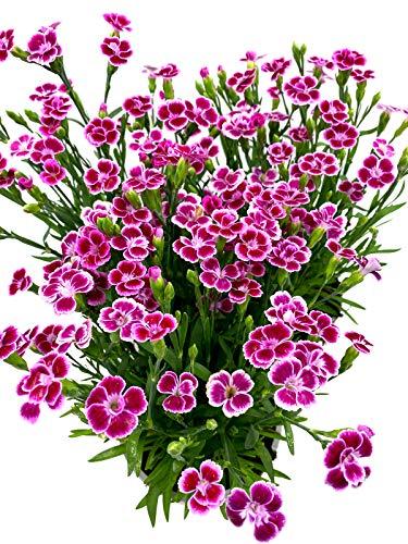 Gartennelken Landnelken Nelken Dianthus-caryopfyllus