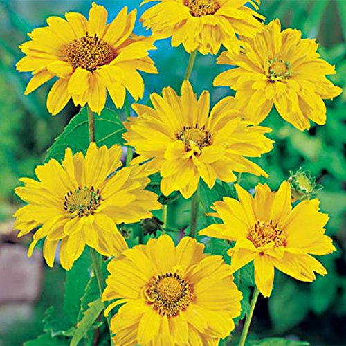 Raues Sonnenauge, 3er-Set, Heliopsis helianthoides var. scabra, gelb, Topf 11 cm