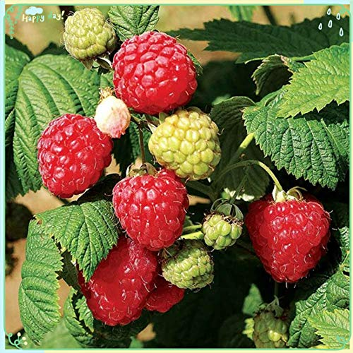 Fruit Plant Seeds 200+ Raspberry Seeds Bare Root Plants - All Season Collection