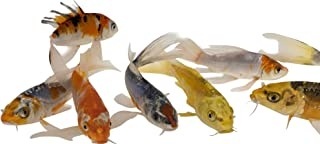Live Butterfly Fin Koi for Garden Pond, Goldfish Aquarium or Tank – Live Butterfly Fin Koi – Born and Raised in The USA - Live Arrival Guarantee