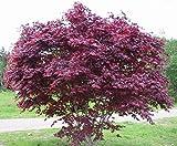 Acero Rosso Giapponese'Acer Palmatum Bloodgood' in vaso ø20 cm h.60/100 cm