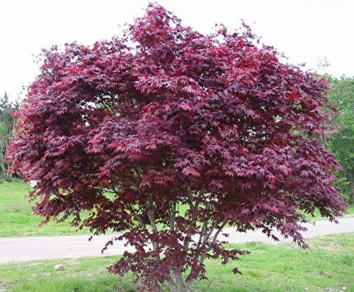 Acero Rosso Giapponese'Acer Palmatum Bloodgood' in vaso ø20 cm