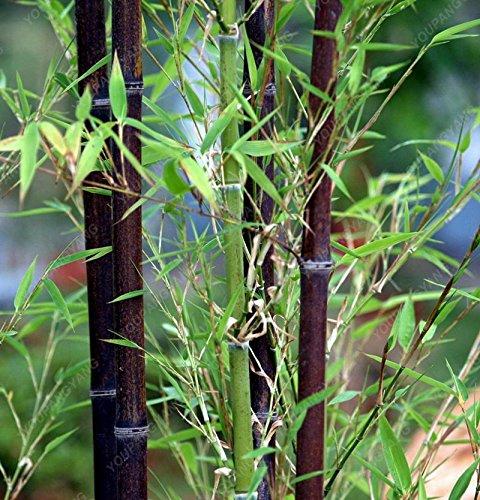 50 pcs \ sac pot hybride, graines rares de bambou, l'air pur, maison décoration rose, couleurs rouge, jaune, vert, plantes en pot bonsaï bleu ciel