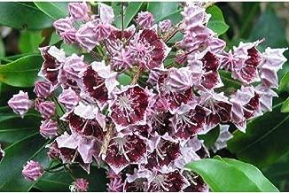 Best kalmia plants for sale Reviews