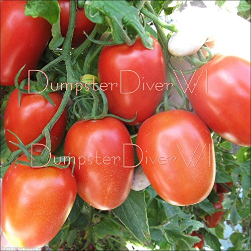 Roma biologique Tomate Heirloom Seeds 50+ Maladie resistants riches et charnue non-OGM