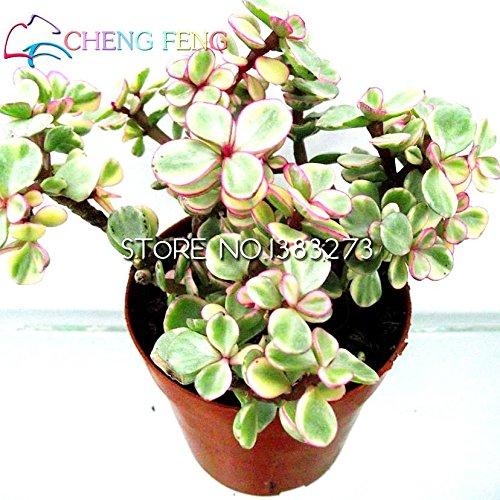 Best-vente de jardin Mini plantes 30 Graines rares Sempervivum Mix Graines succulentes Fleurs Pour Chambre Bonsai pot Plantes * cadeaux