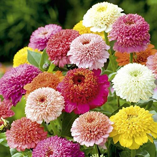 50PCS Garden Bonsai Graines Zinnia Multicolor Chrysanthème Graines Graines de fleurs belles plantes ornementales culture facile 12