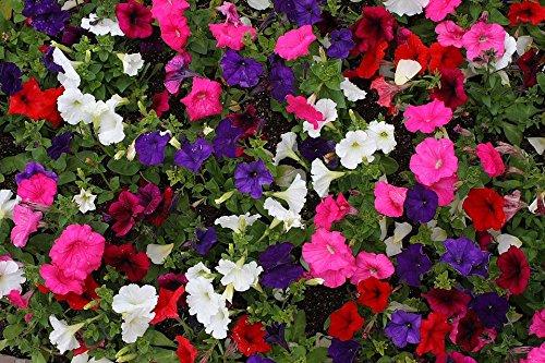 200 mélangées Laura Bush Petunia Violacea Rose Violet Blanc Trompette Fleur Graines