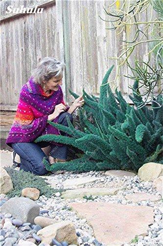 150 Pcs rares arc-en-bambou sétaire Graines, Bambu Variées Plantes Bonsai d'hiver Plantes ornementales Illuminez votre jardin personnel 7