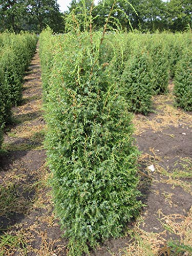 Juniperus communis 'Suecica' - Schwedischer Säulenwacholder 'Suecica' 40-60