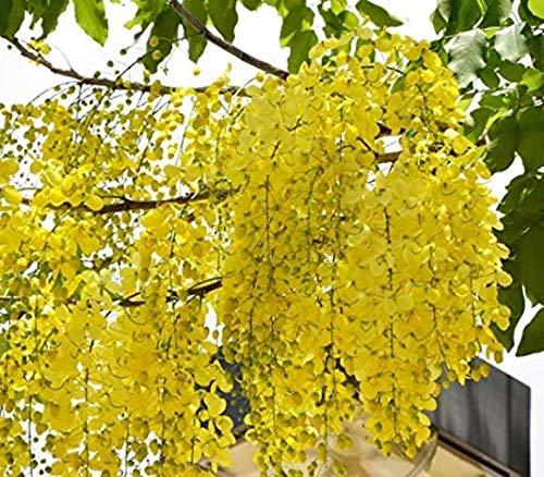 Golden Shower Semillas para plantar Cassia Fistula/Lluvia Dorada/Amaltash/Árbol Laburnum indio 20 semillas