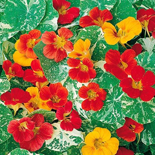 Qulista Samenhaus - Rarität 50pcs Rankende Kapuzinerkressensamen Variegated Queen-Mischung Blumensamen winterhart mehrjärhig, Als Ranker und als Bodendecker