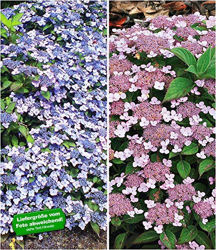 BALDUR Garten Zwerg-Hortensien-Kollektion 2 Pflanzen, 1 Pflanze Zwerg-Hortensie Koreana und 1 Pflanze Lace Delight Hydrangea winterhart Bodendecker