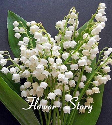 20 pcs Lily de la vallée de graines de fleurs, graines cloche d'orchidées, riche arôme, les graines bonsaï de fleurs, si mignon et beau