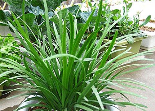 20 graines / semences paquet de légumes - - semences Ciboulette décoration de jardin Bonsai fleurs Graines Balcon Bonsai