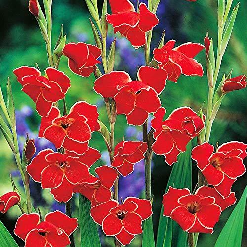Blumenzwiebeln mehrjährig 5x Zwerg Rot Gladiolen zwiebeln Garten blumen Gladiolus Atom