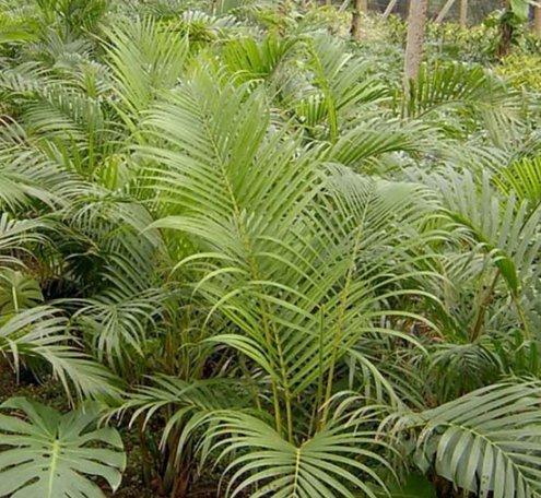 Dypsis-Lutescens-Mariposa-Palma-Chrysalidocarpus-Lutescens-Amarillo-Areca-Semillas