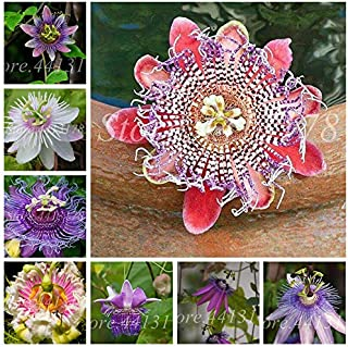WANCHEN 100 Pcs/Bag Exotic Passion Flower Vine Fruit Passiflora Bonsai Plant Plantas DIY Home Garden Rare Organic Tropical Edible Fruta (Seeds not Plants)