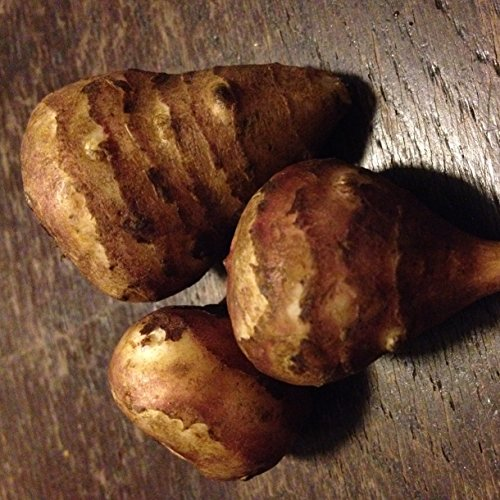 lichtnelke - Staude Pflanze Topinambur (Helianthus strumosus) Lola