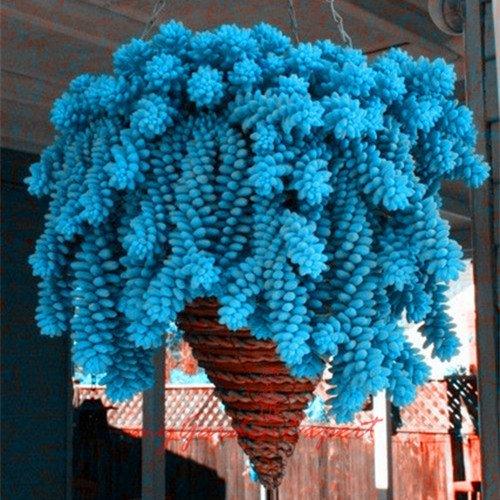 50pcs vente chaude Escalade Graines Blue Spruce Picea Arbre en pot Bonsai Cour Jardin des plantes Bonsai Graines Pine Tree