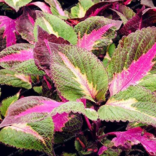 6: Seltene Perilla Frutescens Samen Japanische Rotblättrige Perilla Pflanze Double Color Seeds Bonsai Garden Supplies 50 Partikel/Pack