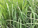 citronella Grass Live...image