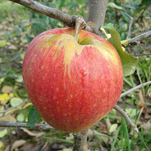 Müllers Grüner Garten Shop Jonagold Apfelbaum Buschbaum 80-120 cm schwach wachsende Unterlage M9