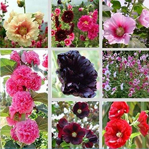 30 Mix Graines Alcea rosea rose trémière Multi Couleurs de Plantes Fleurs