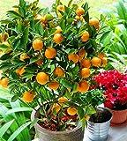 Bloom Green Co. ¡Auténtico!Bonsai de frutas Enano de pie Naranjo Flores planta de interior en maceta decoración de jardín planta Kumquat plantas Mandarina Cit