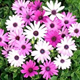 Outsidepride Osteospermum Ecklonis Flower Seed Mix - 100 Seeds