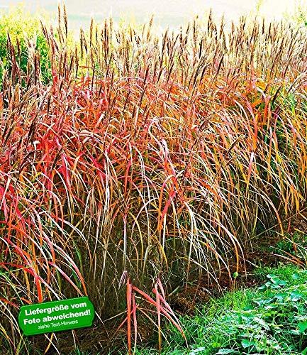 BALDUR-Garten Miscanthus-Hecke Chinaschilf, 1 Pflanze Ziergräser winterhart