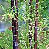 50 semillas de bambú rara gigantes MOSO negro semillas de bambu bambú paquete profesional de...