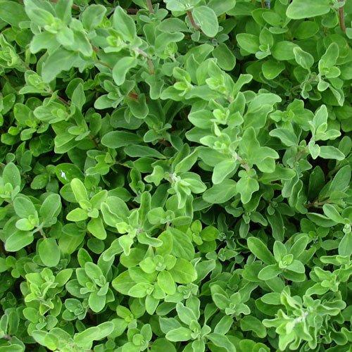 Plant World Seeds - Sweet Marjoram Seeds