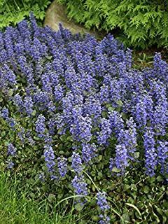 30 Pcs Ajuga Reptans Groundcover Seeds-Shade Loving Evergreen Creeping Buglewood- Medicinal Plant (Good for Erosion Control) Fl379