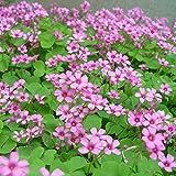 HTHJA Perenne Fragrante Semi,500 g di Trifoglio di cartamo a fioritura Lunga, Una pianta perenne Resistente alla siccità,profumato con Fiori Colorati