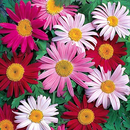 Pyrethrum cinerariifolium Pflanzen Mix Seeds 30 Stück Bio-Gänseblümchen-Chrysantheme Bunte frische Premium-Blumensamen zum Pflanzen Garten Garten Outdoor-Dekor