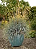 Perennial Farm Marketplace Helictotrichon sempervirens (Blue Oat) Ornamental Grass, 1 Quart, Bluish Gray Foliage