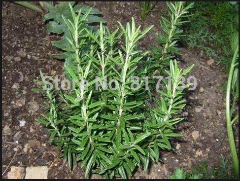 Jardin des Plantes 6 graines Romero ROSEMARY Rosmarinus officinalis HERB SEED HEIRLOOM SAIN ORGANIQUE ET HERB TASTY Livraison gratuite