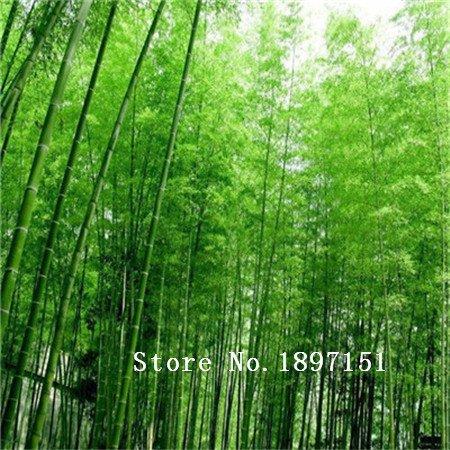 Big vente 50 graines / usine d'emballage en gros Graines de bambou fraîches Cheap Bonsai graines d'arbres