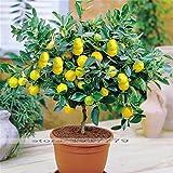 Lemon Tree Seeds bonsai semi di alberi da frutta. organico giallo limone seme della pianta dei bonsai coperta per la casa Gatden 30pcs / bag