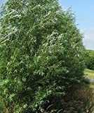 18 Hybrid Willow Trees - Privacy Trees Fast Growing - Great Visual and Sound Barrier