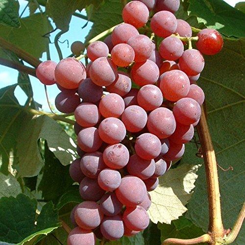 Müllers Grüner Garten Shop Vanessa pilzfeste kräftige Weinrebe roséfarbene Traube süß kernlos 60-100 cm 3,5 Liter Topf