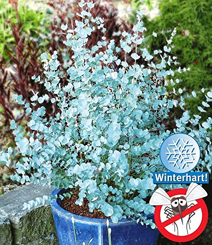 Kisshes Giardino - Albero di eucalipto blu aromatico'Azura' semi di eucalipto reale semi di piante da giardino hardy perenni
