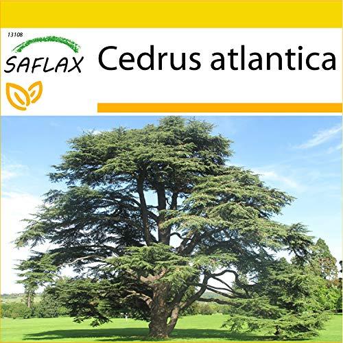 SAFLAX - Kit de culture - Cèdre de l'Atlas - 20 graines - Cedrus atlantica