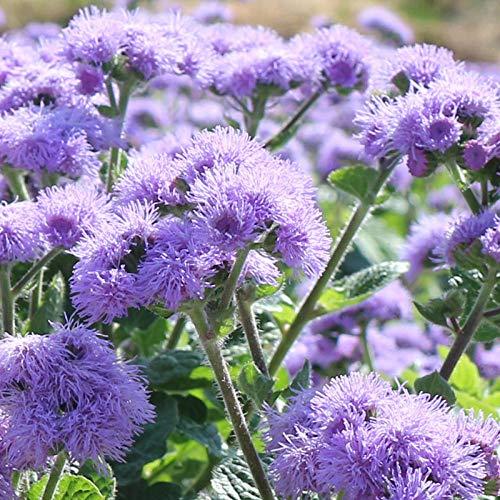 XINDUO Graines de Parfum rares,Graines de Fleurs de Jardin épine bleue-20 Capsules,Mélange Fleurs graines