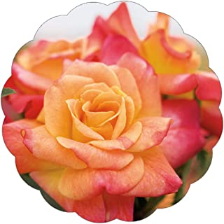 Stargazer Perennials Joseph's Coat Rose Plant Apricot Pink Orange Climbing Rose Potted