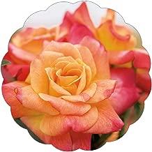 lady banks rose trellis