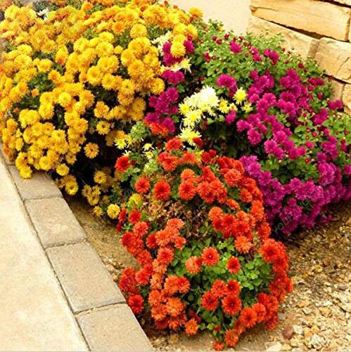 100pcs/sac belle couleur Graines de fleurs rares Tapissant Chrysanthème Graines vivaces Bonsai plantes pour jardin ornements blancs